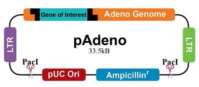 pAdeno(品番:A001)