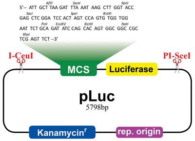 pLuc Vector (品番:A015)