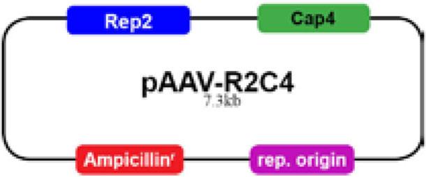 pAAV-R2C1ベクター