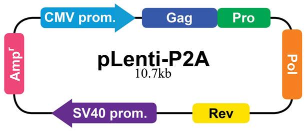 pLenti-P2Aのベクターマップ