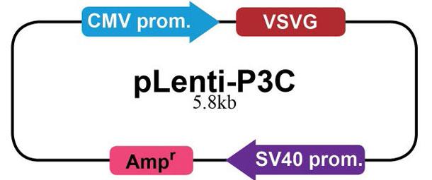 pLenti-P3C