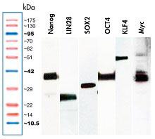Myc, KLF4, LIN28, OCT4, Nanog, SOX2プラスミドをトランスフェクションした48時間後の293細胞ライセートのウエスタンブロット解析