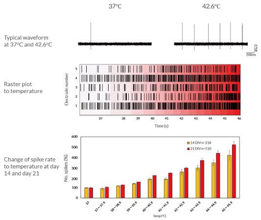 . MEA上で培養したAxol社Sensory Neuronの温度刺激に対する応答を検出した