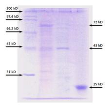 様々なサイズのタンパク質精製