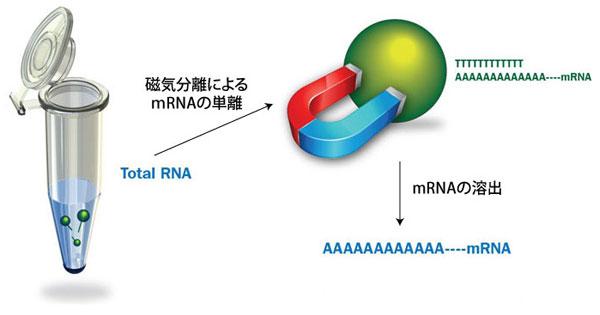 mRNA抽出概要