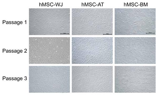 様々な組織(Wharton?s Jelly:WJ、脂肪:AT、骨髄:BM)由来 のヒトMSC をMSC NutriStem® XF 培地で3 継代した(x 100 倍)。 全てのMSC において正常な繊維芽細胞様の細胞形態が観察され た。