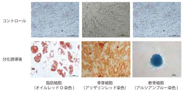 MSC NutriStem® XF 培地で培養した脂 肪由来ヒトMSC を3 〜 5 継代まで培 養した後、それぞれの組織へ分化誘導 し染色した。