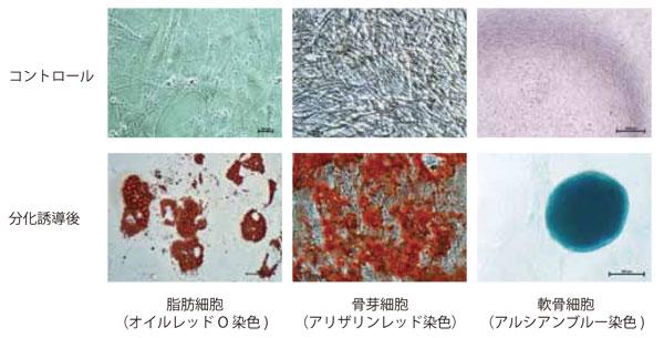MSC NutriStem® XF 培地で培養した骨 髄由来ヒトMSC を3 〜 5 継代まで培 養した後、それぞれの組織へ分化誘導 し染色した。