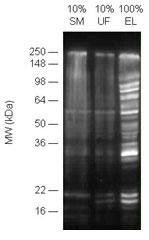 イセートを POLYSUMO-QAPTURE® で濃縮し、ウェスタンブロッティングにより重合化SUMO修飾タンパク質を検出