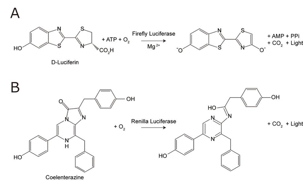 ルシフェラーゼにより触媒される生物発光反応