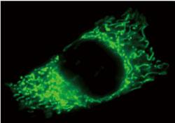 MitoView Green(品番:70054)で染色したHeLa細胞