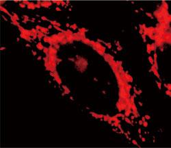 M itoView 633(品番:70055)で染色したHeLa細胞