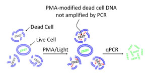 図2 qPCR による生菌定量のためのPMA™ 修飾の原理