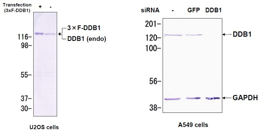 Western blot analysis of DDB1 expression in U2OS cells and A549 cells.