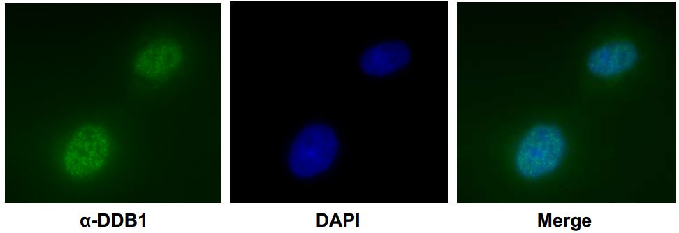 Immunofluorescence of U2OS cells with DDB1 mAb [ Clone : 43233-3-1 ]