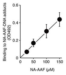 ELISA法によるDNA損傷物質のNAAAF1投与依存性解析