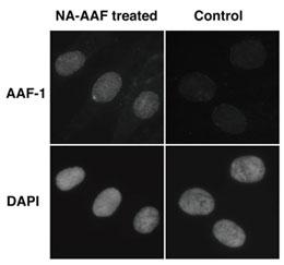 ヒト細胞におけるNA-AAF投与によるDNA 損傷部位の細胞染色図