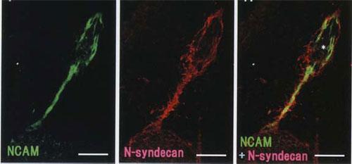 嗅球形成過程におけるN-シンデカン/シンデカン-3の局在|マトリックスタンパク質検出用抗体