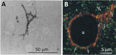 成獣ラット大脳皮質におけるニューロカンの局在|マトリックスタンパク質検出用抗体