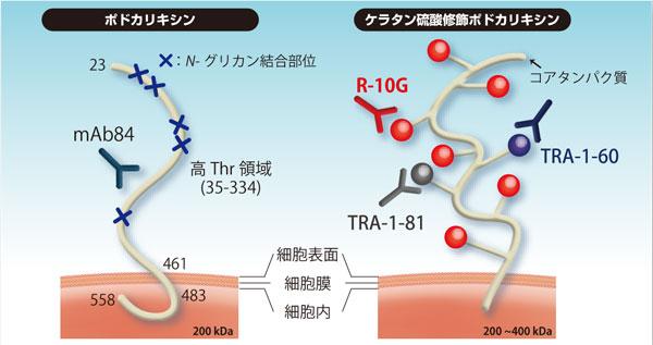図2 ポドカリキシン分子上の多分化能細胞性エピトープ