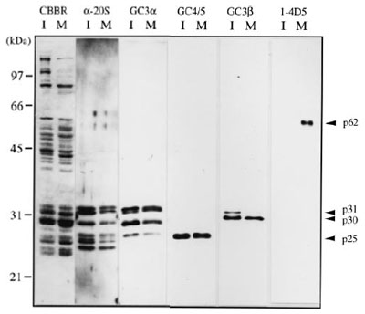クローンGC3α、GC3β、GC4/5を用いた精製26プロテアソームにおけるサブユニットの局在解析