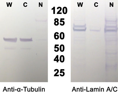 HEK293細胞の分画
