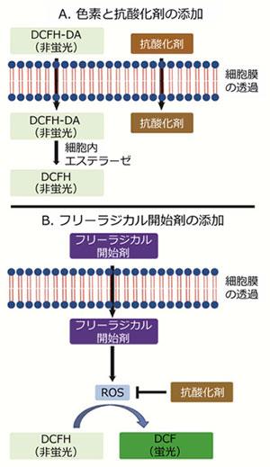 細胞内抗酸化アッセイのメカニズム