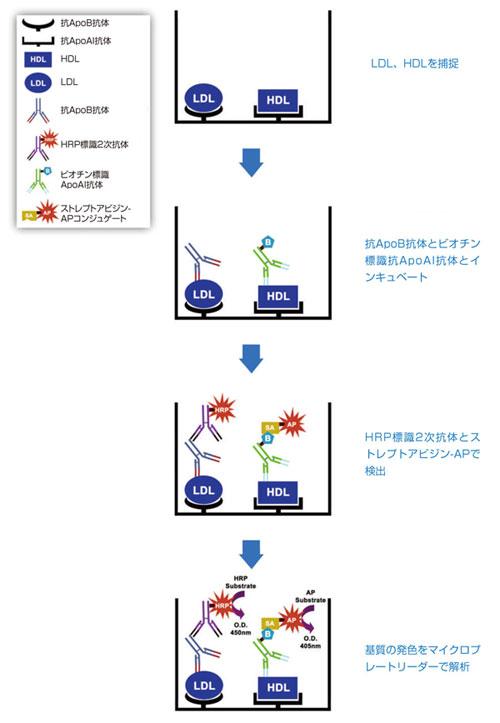 ヒト ApoAI / ApoB Duplex 測定ELISAキットの原理