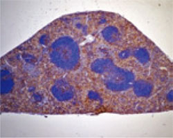 精製 Mac-2 抗体 (品番:CL8942AP)