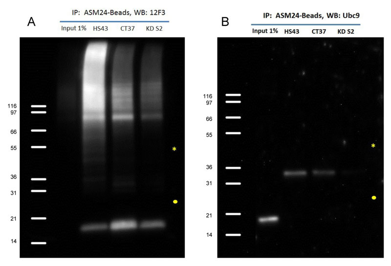 SUMO-2/3 抗体を用いた免疫沈降