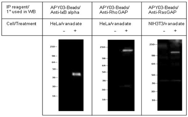 チロシンリン酸化を受けた内在性の IkBα、RhoGAP、RasGAP の検出