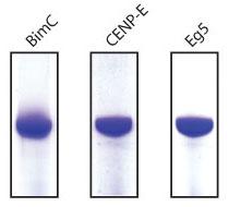 キネシンモータードメインタンパク質の純度(85%以上)