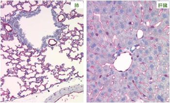 マウス肺と肝臓の血管及び毛細血管内皮細胞のCD31抗体(クローン:SZ31)による免疫染色