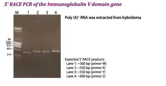 免疫グロブリン遺伝子V領域の5'RACE PCR