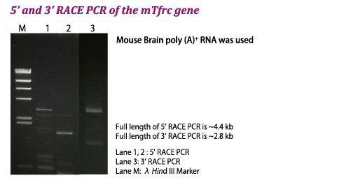 mTfrc遺伝子の5' and 3' RACE PCR