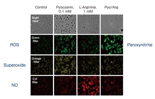 HeLa 細胞を3 種類の蛍光プローブと反応させ(2 時間、37℃)、各試薬で誘導した(20 分間、37℃)