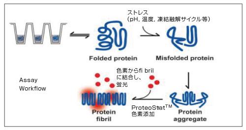 ProteoStat タンパク質凝集検出試薬の使用原理