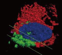小胞体(赤色)、ゴルジ体(緑色)、核(青色)の3D イメージ