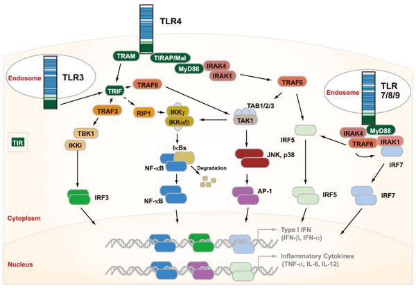TLR(Toll様受容体/トールライクレセプター)のシグナル伝達経路