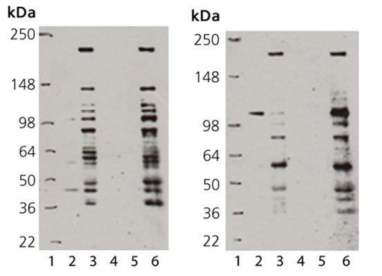 本キットによる精製前後のSUMO結合タンパク質をウェスタンブロットにより検出