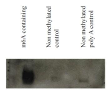 N6-メチルアデノシン モノクローナル抗体(17-3-4-1)を用いて、合成したメチル化 /非メチル化RNA をノースウェスタンブロット法により検出した。