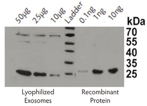 ヒト血漿由来エクソソーム(凍結乾燥品、品番: HBM-PEP100)とリコンビナント CD9 タンパク質を用いて、エクソソームマーカーであるCD9をウェスタンブロットにより検出。