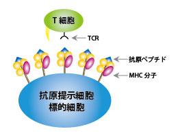 T細胞の抗原ペプチド認識