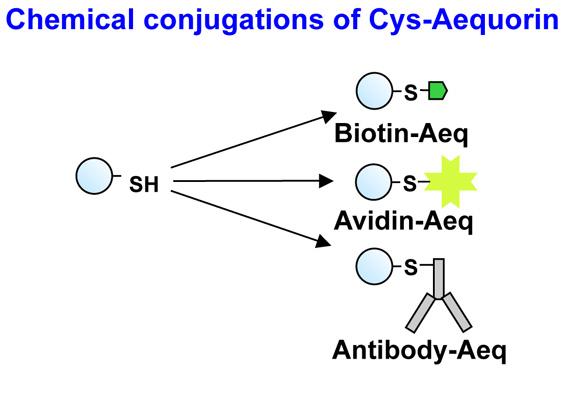 Cys-Aequorinと様々な分子の結合