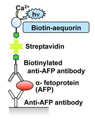 ビオチン化イクオリンを用いたα-fetoprotein(AFP)の検出