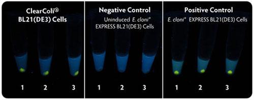 CleanColi BL21(DE3) とE. Cloni(R) EXPRESS BL21(DE3) の蛍光タンパク質発現比較