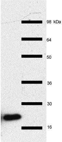 Hep2細胞抽出物をRpp2抗体を用いてイムノブロットを行った