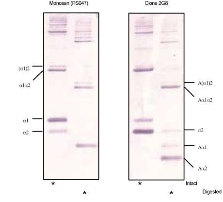 ヒトタイプ1コラーゲンで消化したケミコン社のMMP-1インタクト1μgを未変性6%SDS-PAGEゲルに流した後、電気泳動し、ウエスタンブロッ ト検出