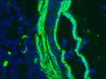 ヒト小腸凍結切片の免疫染色(α-SM1抗体  1:1000)