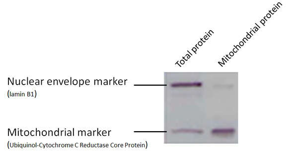 トータルタンパク質とミトコンドリアタンパク質のウェスタンブロットによるマーカー解析